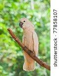 yellow crested cockatoo ...   Shutterstock . vector #77858107