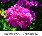 pink geranium flowers in the... | Shutterstock . vector #778630156