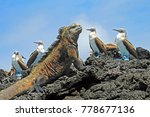 marine iguana with blue footed... | Shutterstock . vector #778677136