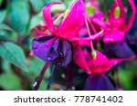 Fuchsia Purple Pink Flower