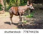 Okapi  Giraffe Cousin