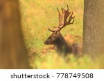 Fallow Deer Dama Dama....