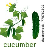 flowering cucumber plant with... | Shutterstock .eps vector #778782502