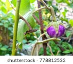 thai eggplant on the tree and... | Shutterstock . vector #778812532