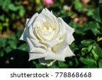 Stock photo rose in the garden rose flowers decoration floral background 778868668