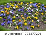 pansy   popular cultivated... | Shutterstock . vector #778877206