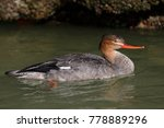 Small photo of Female Red-breasted Merganser (Mergus serrator) - Pinella County, Florida