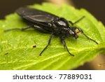 bibionidae | Shutterstock . vector #77889031