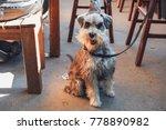 schnauzer dog in pub   Shutterstock . vector #778890982