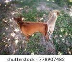 thai ridge back dog breeding in ... | Shutterstock . vector #778907482