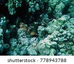 pterois volitans   red sea  ... | Shutterstock . vector #778943788