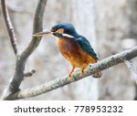 common kingfisher this bird... | Shutterstock . vector #778953232