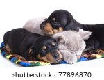Stock photo british kitten rare color lilac and puppies dachshund 77896870