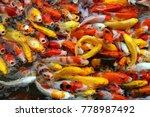 Crowded Of Carp Fish Eating....