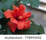 Beautiful Red Hibiscus