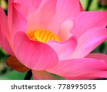Thai Lotus In Public Lake In...