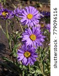 Small photo of Blooming cultivar Alpine aster (Aster alpinus 'Double Pink') in the summer rock garden