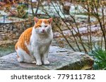 red and white fur cat sitting... | Shutterstock . vector #779111782