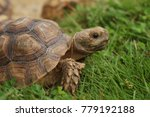 Stock photo close up african spurred tortoise resting in the garden slow life africa spurred tortoise 779192188