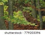 lynx is the biggest cat beast... | Shutterstock . vector #779203396