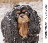 Small photo of Black and Tan Cavalier King Charles Spaniel gazing forward with snowflakes falling on and around her.