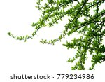 green leaf  branches on white... | Shutterstock . vector #779234986