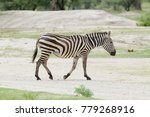 closeup of burchell's zebra or...   Shutterstock . vector #779268916