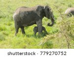 African Elephant  Potecting He...