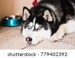 huski is bored | Shutterstock . vector #779402392