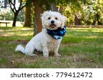 A Bichon Shih Tzu  With...