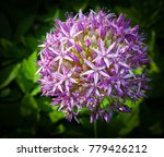 hyacinth flower studio   Shutterstock . vector #779426212