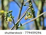 "kapok "" or  white silk cotton... | Shutterstock . vector #779459296"