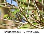 "kapok "" or  white silk cotton... | Shutterstock . vector #779459302"