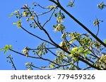 "kapok "" or  white silk cotton... | Shutterstock . vector #779459326"