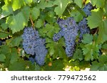 red grapes for wine  australia... | Shutterstock . vector #779472562