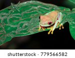 Small photo of A parachuting red-eyed leaf frog (Agalychnis saltator) sits on a leaf at night in Tortuguero National Park, Costa Rica.