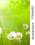Summer flowers - daisy on green background - stock photo