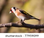 Goldfinch sitting on a branch tree - stock photo