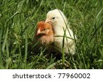 baby chickens on grass | Shutterstock . vector #77960002