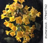 Small photo of Yellow of Kalanchoe. Yellow Flowers. (Selective focus)