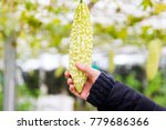 hand holding bitter gourd with ... | Shutterstock . vector #779686366