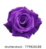 velvet purple rose on a white... | Shutterstock . vector #779828188