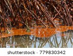 crude oil in marsh grass, Barataria Bay, Louisiana