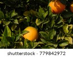 oranges on the tree  costa... | Shutterstock . vector #779842972