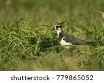 closeup of northern lapwing | Shutterstock . vector #779865052