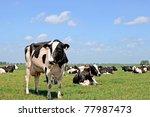 herd of black white  cows on... | Shutterstock . vector #77987473