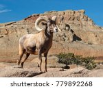 bighorn sheep ram with large... | Shutterstock . vector #779892268