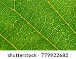 mulberry leaves are detailed.... | Shutterstock . vector #779922682
