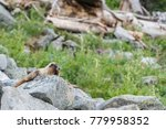 Marmot Rests On Boulders In...