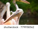 pelicans are a genus of large... | Shutterstock . vector #779958562